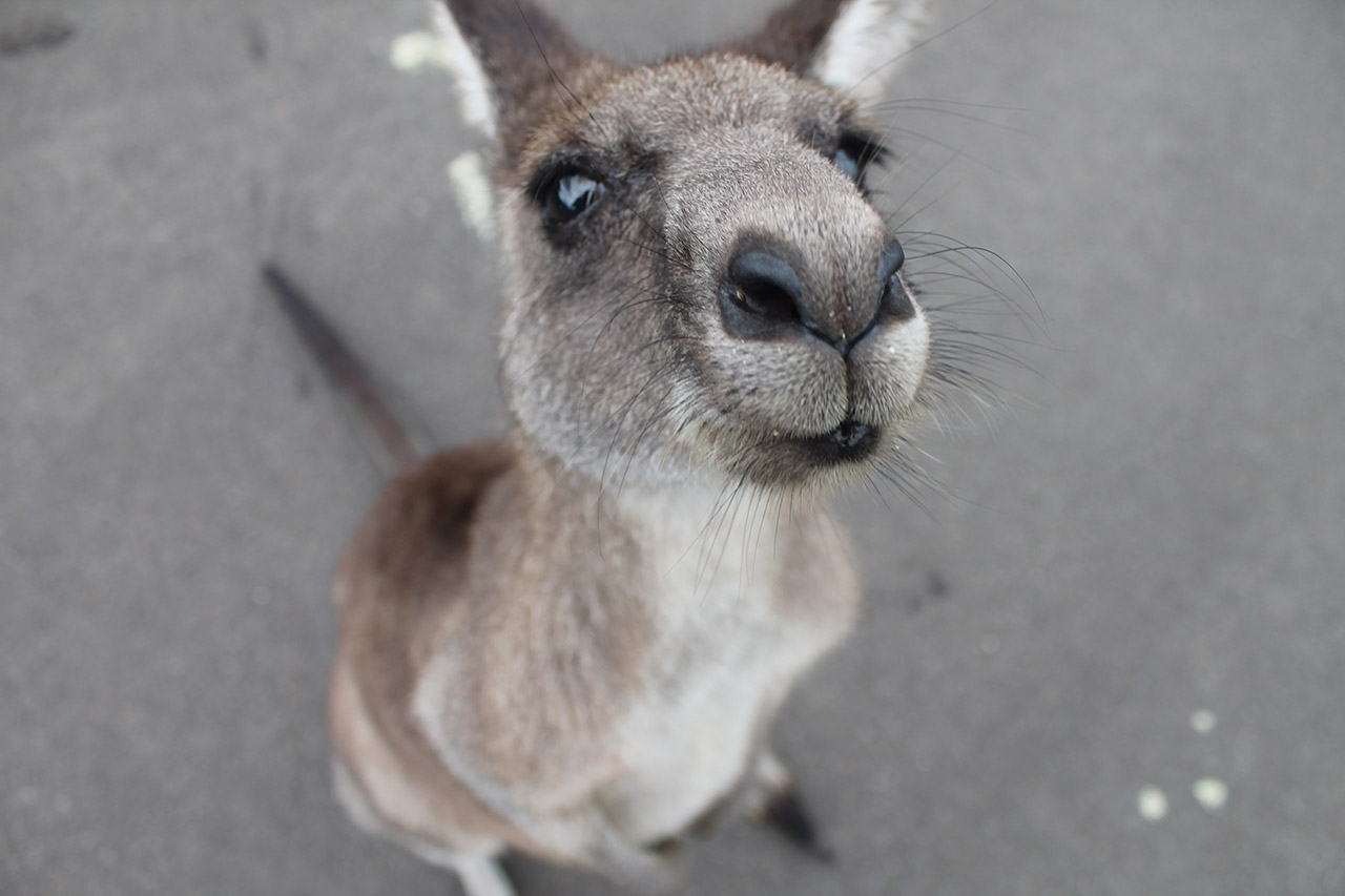 Sascha_Zellinger - Work and Travel oder: eine kulinarische Rundreise durch Australien. Auf dem Foto zu sehen ist ein Känguru